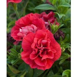 Petunia pełnokwiat. zwisająca – czerwona 3 szt