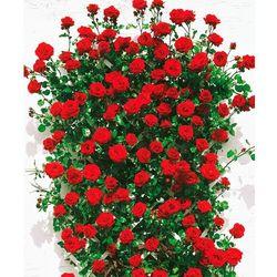 Róża pnąca 'Santana®' 1 szt