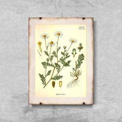 Plakaty w stylu retro Plakaty w stylu retro Śmierdzący rumianek botaniczny
