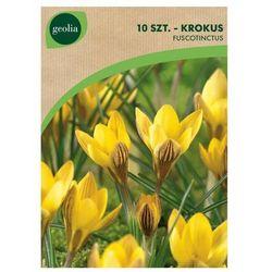 Krokus złoty FUSCOTINCTUS 10 szt. cebulki kwiatów GEOLIA