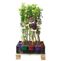 Pachnący ogród - zestaw 10 roślin CLEMATIS