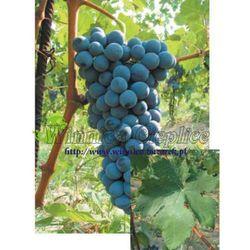 Sadzonka winorośli Barbera rabat 8%