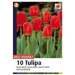 Tulipan Darwin Apeldoorn
