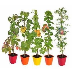 Pnącza znoszące suszę - zestaw 10 roślin CLEMATIS